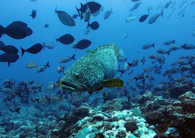 Mérou géant des îles Eparses
