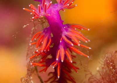 Nudibranche, faune sous-marine de Méditerranée