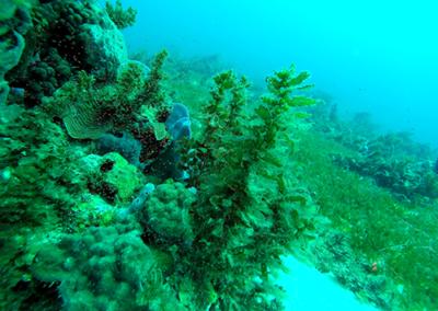 Algues benthiques